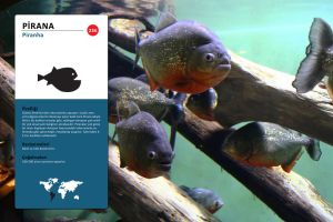 Piranha Pictogram - Sign by n