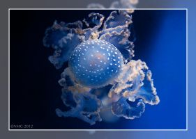 Australian Spotted Jellyfish by RoyallyCrimson