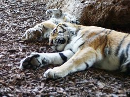 Little Tiger with mom by H2-HELLHORSE