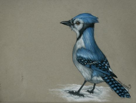 Blue Jay by toshema