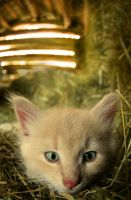 barn kitten by KariLiimatainen
