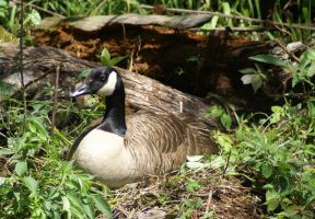 Nesting Cnada Goose, Untouched by MLStock