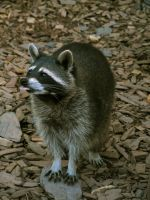racoon 04 by Pagan-Stock