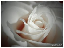 White rose...........5.. by gintautegitte69