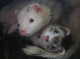 Love Weasels by Allhailtotheferrets