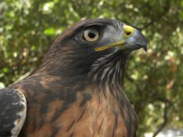 Rufous Red-tail Portrait by Ciameth