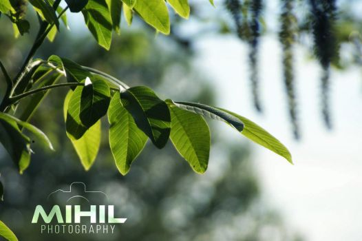 Walnut Leaves by Mihil