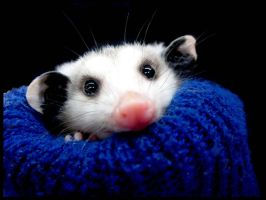 Mr. Opossum by ThreeStoned