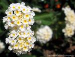 White and yellow flowers by FrancescaDelfino