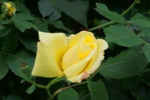 yellow rose by Fotoback