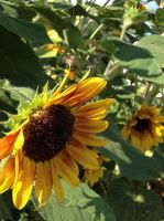 sunflowers in massachussetts by Utaleasha