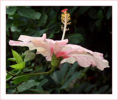 Hibiscus rose by ameliasantos
