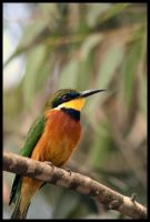Blue-Breasted Bee-Eater by Siamese82