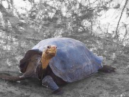 Turtle from Galapagos by webgoddess
