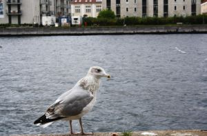 Seagull by FlorianCoste