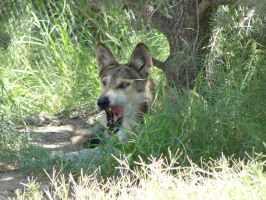 LD August 14: Mexican Wolf 23 by FamilyCanidae