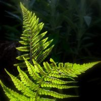 Ferns by lostknightkg