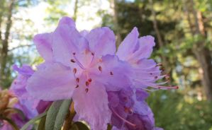 Purple Rhododendron 170523 by Kattvinge