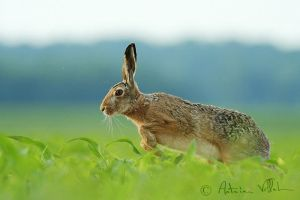Run, hare, run by Fresnay