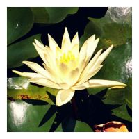 Lone Water Lily by RaineyJ