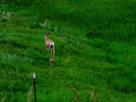 Wyoming Mulie Doe and Newborn Fawn by DaraBlack