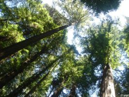 HENRY COWELL REDWOODS by swtiine