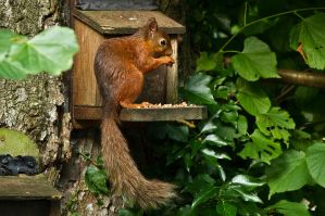 Scale Hill's Red Squirrel by parallel-pam