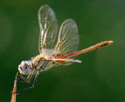 Sympetrum fonscolombii, young male by Shooter--Andy