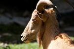 Barbary Sheep by The-Nutkase