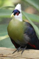 White-crested Turaco by JBlue2389