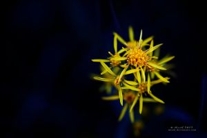 Yellow Stars by Mizth