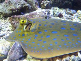 bluespotted ribbontail ray by Feridwyn