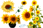 Sunflowers - PNG by lifeblue