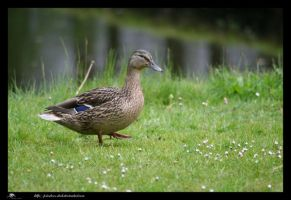 duck3 by priesteres-stock