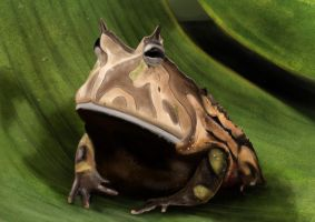 Frog. by Ankard