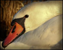 Swan by neith13