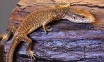 Savannah Monitor Body Shot by Caloxort