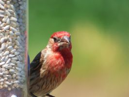Male House Finch II by AppleBlossomGirl