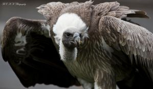 - vulture - by PiTurianer