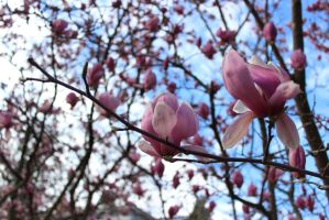 Pink Magnolias by shelbeanie