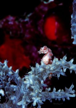 A Tiny Pygmy Seahorse by LazyDugong