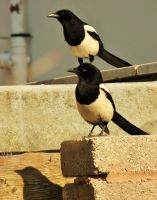 Magpies by Halokitttiekat