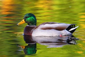 Quack For Fall Colors by janernn