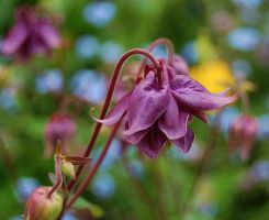 Purple Aquilegia by Mararda