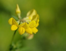 Birdfoot Trefoil by barcon53