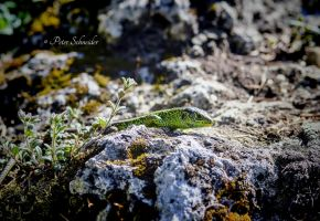 High on the mountain(lizard). by Phototubby