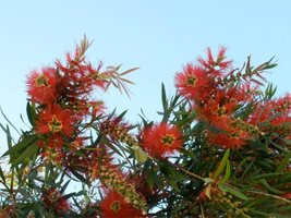 Bottlebrush by Love-Art-Type