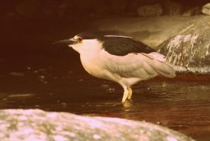 Good Day Night Heron by xXOokamikunXx