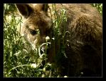 wallaby by KirstenE