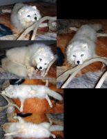 Arctic Fox Soft Mount by Tricksters-Taxidermy